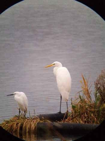 Great Egret and Little Egret
