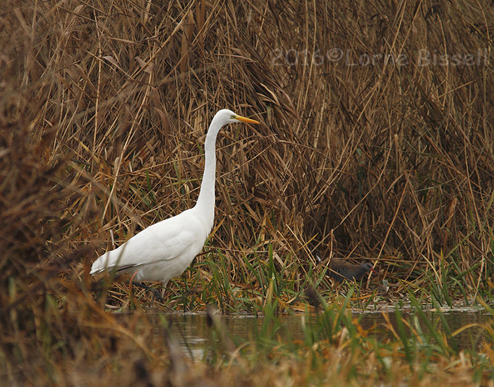 Great Egret and Water Rail, Longham Lakes, December 2016 (Lorne Bissell.