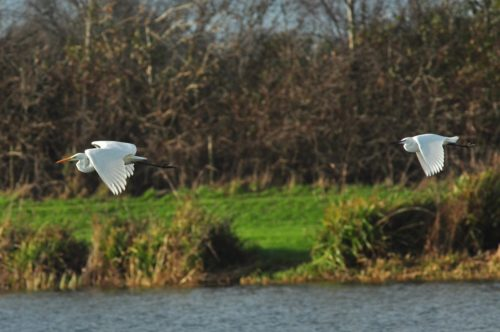 Great (left) and Little Egrets in flight