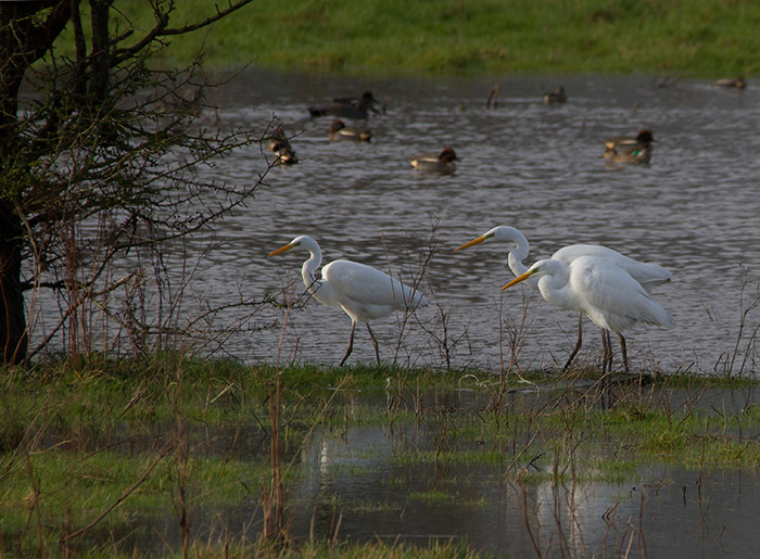 3 Great Egrets, Longham Lakes, 2/2/17 (Lorne Bissell)