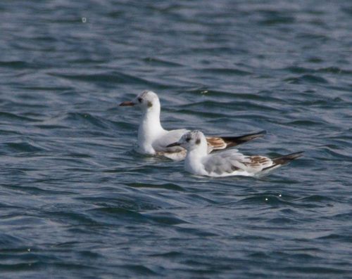 Bonaparte's and Black-headed Gulls