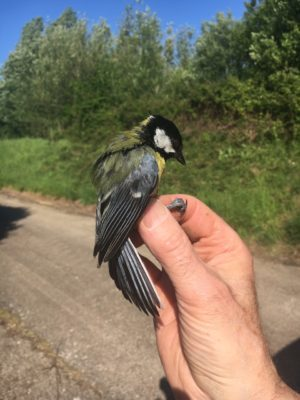 A long-lived Great Tit - 5 years, 260 days and counting!