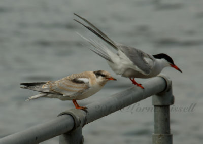 Common Tern adult and juvenile