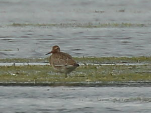 Juv Black-tailed Godwit