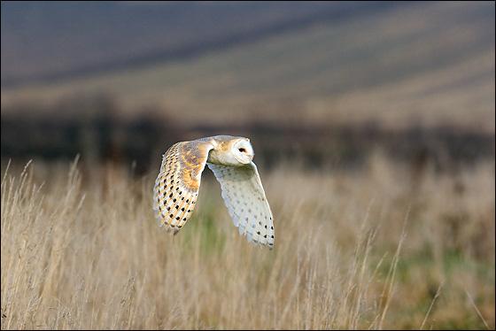 Barn Owl (Tyto alba) - www.birdwords.co.uk